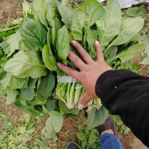 河北省邯郸市磁县大叶菠菜 菜不赖,就是工人捆不好,便宜卖