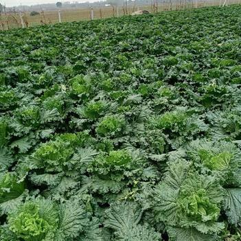 麻叶菜 大量出售白菜
