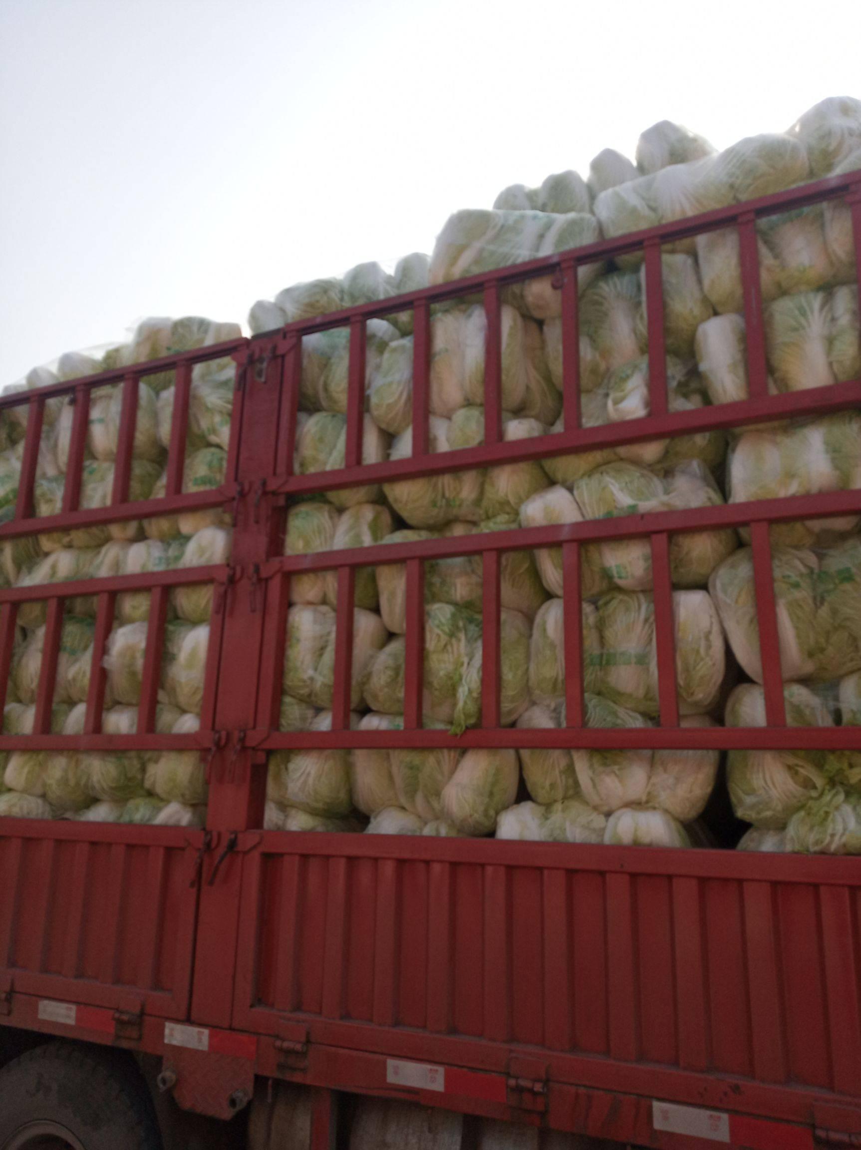 青雜三號白菜 6~10斤 凈菜
