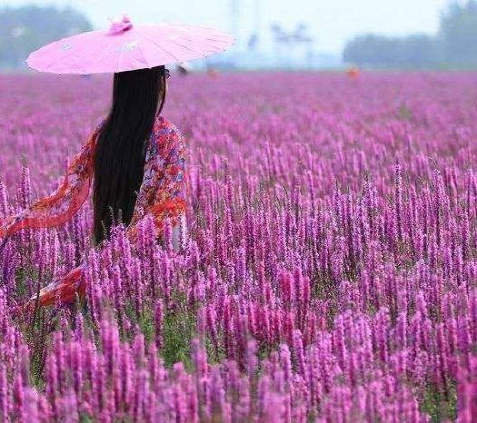宿迁宿豫区千屈菜种子 千屈菜籽种  多年生水生花卉水柳种子景观花卉耐寒