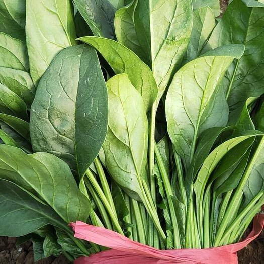 河北省廊坊市香河县圆叶菠菜 精品蔬菜,超低价格,五湖四海,你我共赢!