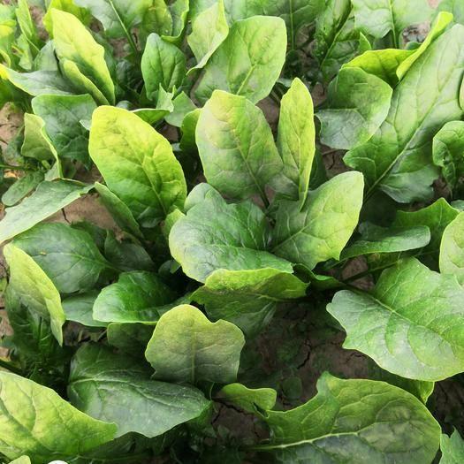 河南省商丘市睢县 打捆菠菜100亩陆续上市,质量好,价格低。