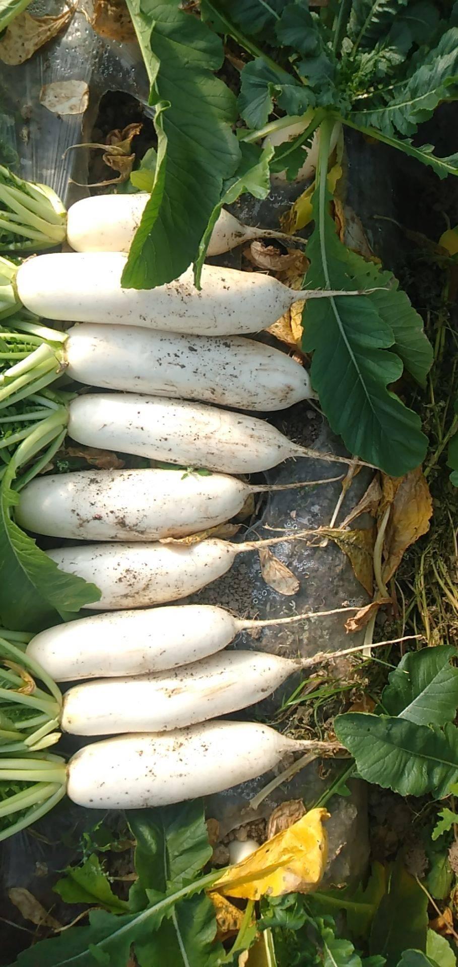 白蘿卜 1.5~2斤