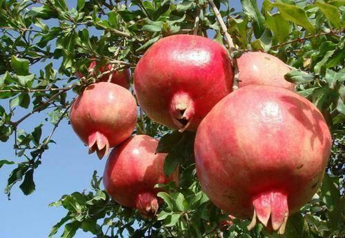 临沂平邑县 石榴树苗  蒙阳红石榴树苗 产量高  好种植 大苗当年结果