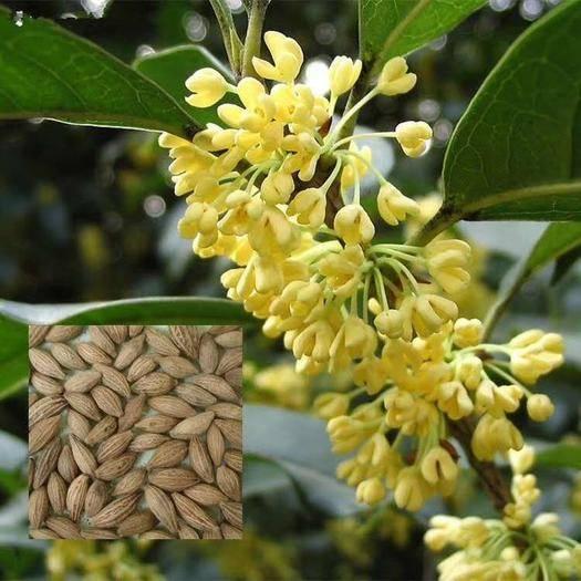 宿迁 桂花种子  新种子四季桂金桂沉香八月桂花树种子桂花种籽