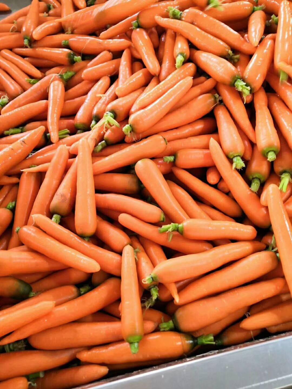 三紅七寸參胡蘿卜 顏色條形絕對稱得上精品,
