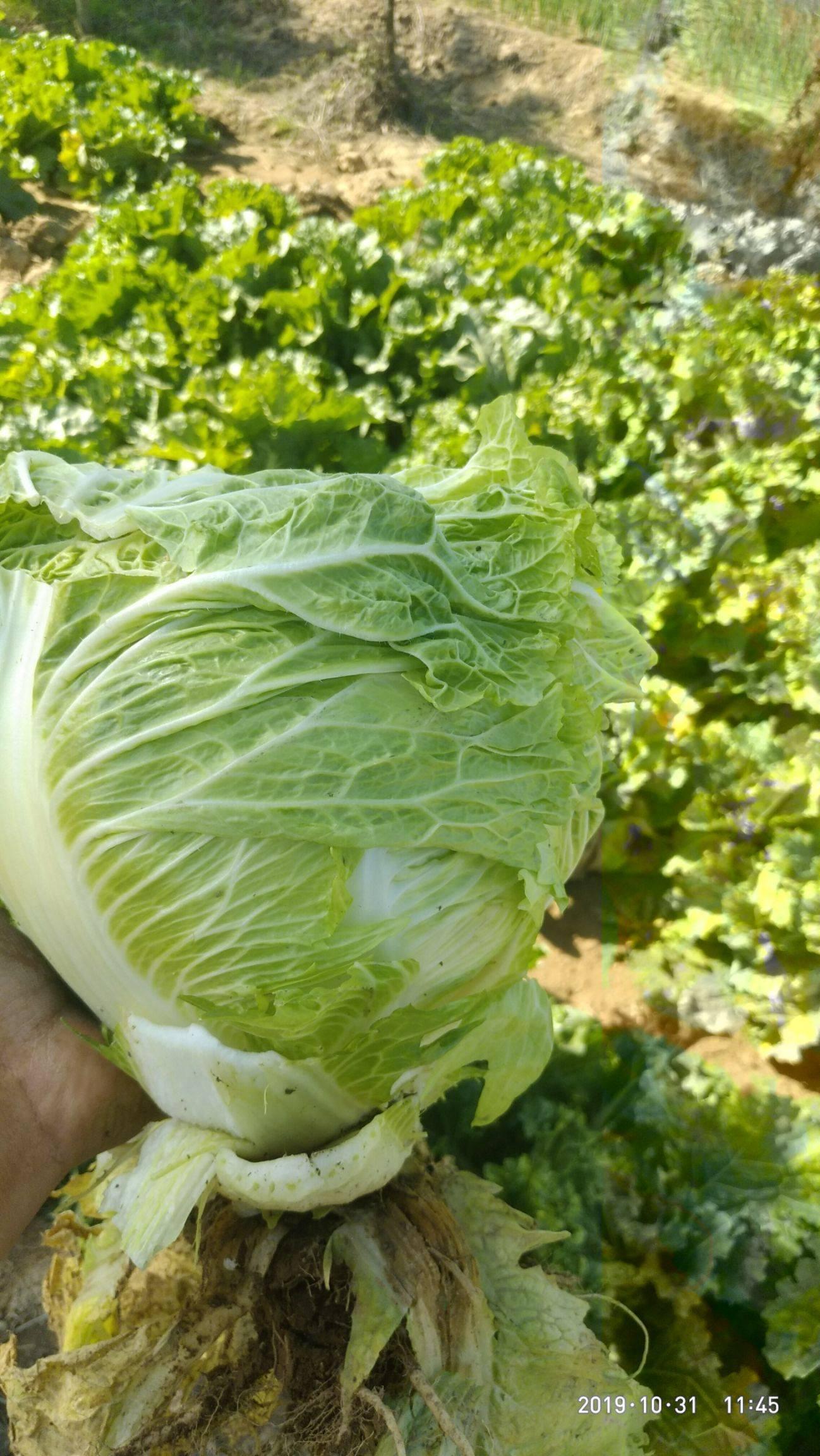 小包23 3~6斤 二毛菜