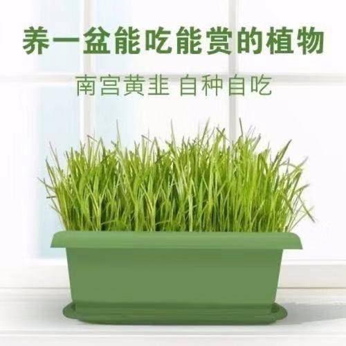 邢台南宫市韭黄盆景 10斤头茬一级黄韭盆景