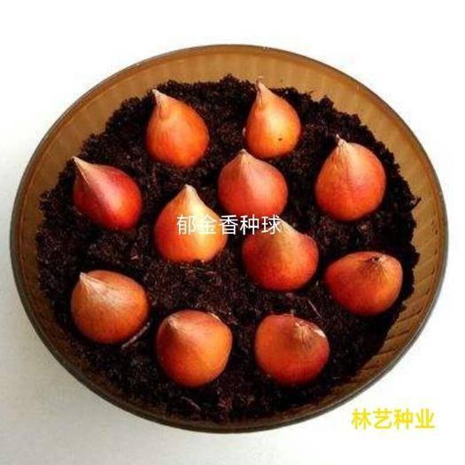 宿迁宿豫区郁金香种子 荷兰进口郁金香,由荷兰人杨·卡罗,于1999年发现,该花整体