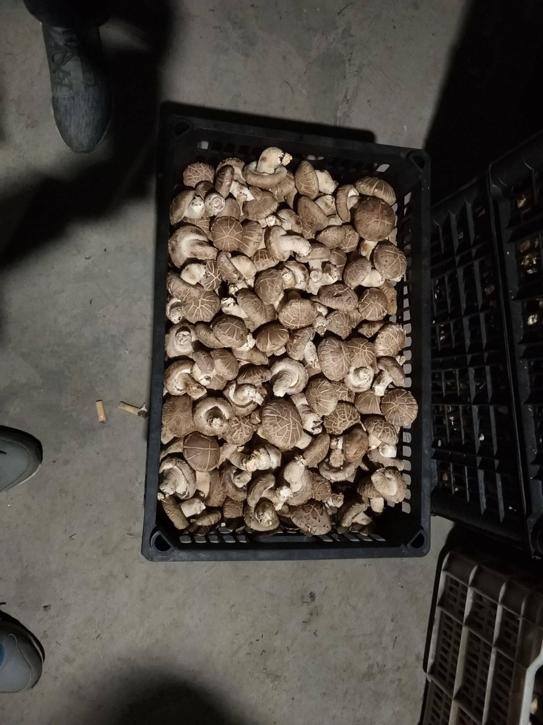 808香菇