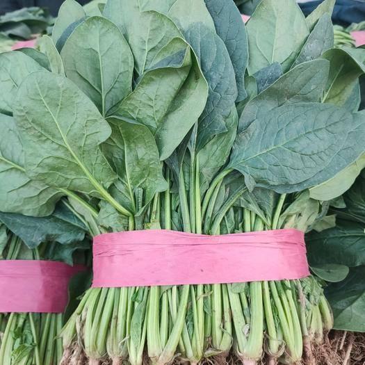河北省邯郸市丛台区大叶菠菜 常年大量有货,有需要联系我