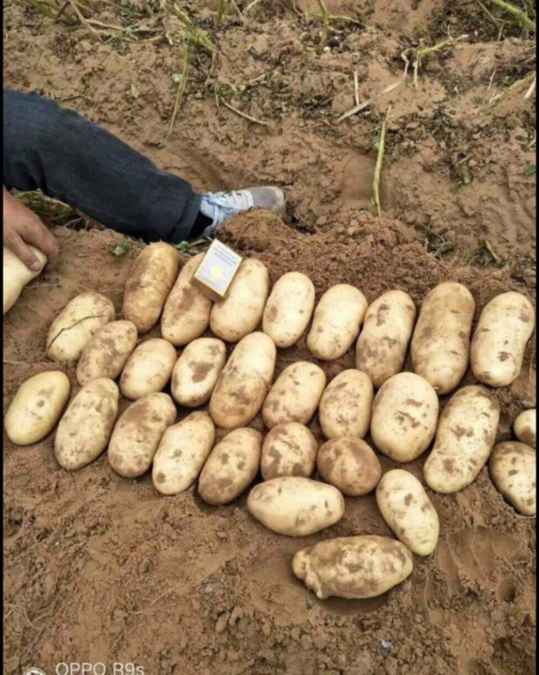 荷蘭15號土豆 荷蘭