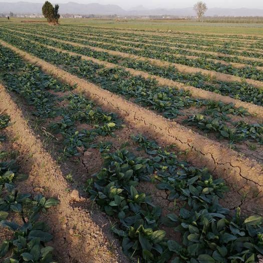 河南省平顶山市汝州市黑叶菠菜 绿色蔬菜,无公害