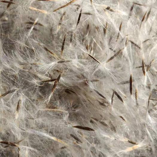 菏泽牡丹区 一级楸树种子