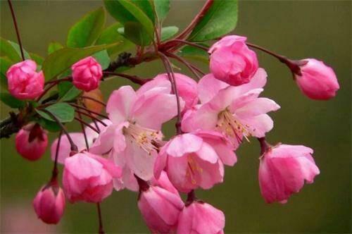 臨沂平邑縣 垂絲海棠樹苗  盆栽地栽 包質保量 包成活 包郵