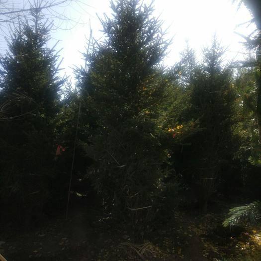 泰安 3長到5米高的云杉