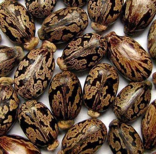 宿迁宿豫区 蓖麻种子  四季易种易活 药用价值可观产量高