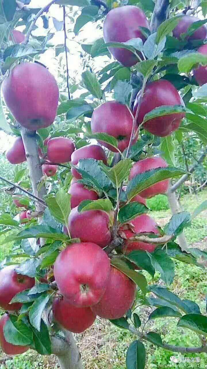 高原蘋果 大涼山,女兒紅,