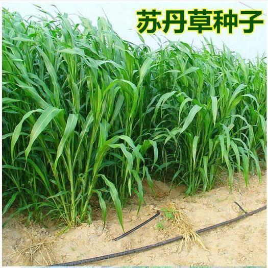 宿迁沭阳县 苏丹草种子,产量高,适口性好