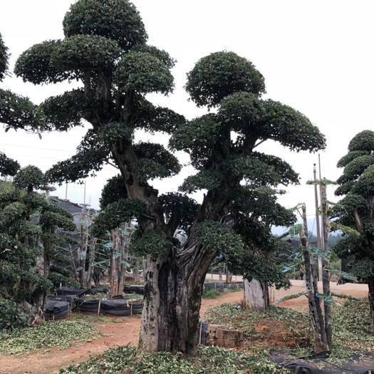 九江 造型欏木石楠