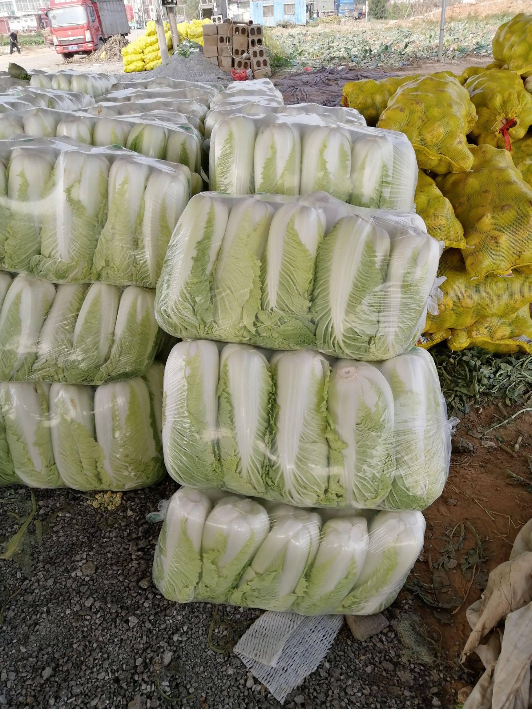 山東肥城北京三號大白菜大量上市