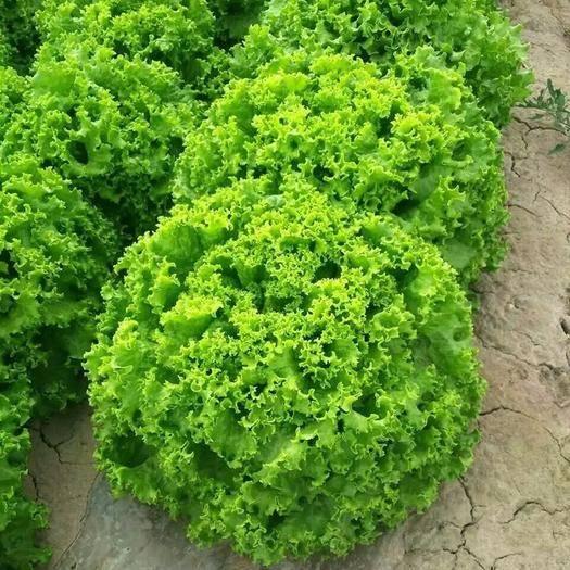 蘇州 美國大速生菜2000粒種