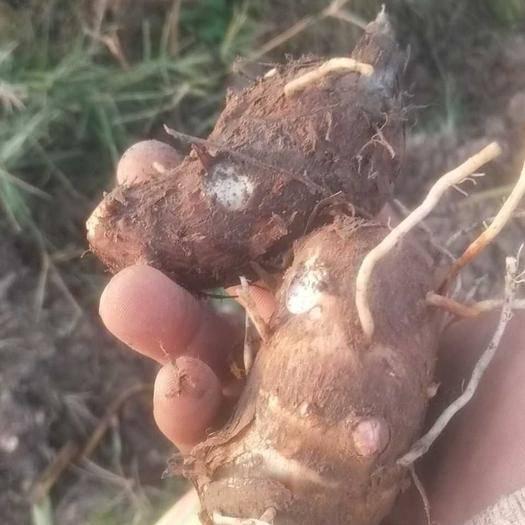 浙江省金华市东阳市 金华红芽芋 好品质 新鲜毛芋
