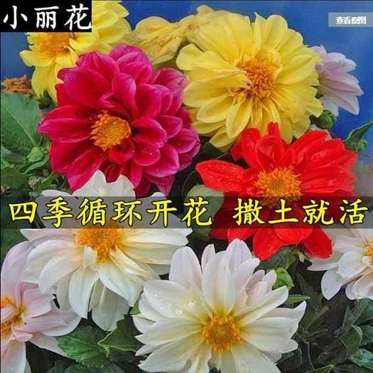 宿迁沭阳县 小丽花种子多年生室外观赏花卉阳台盆栽庭院绿化四季易种花籽春播