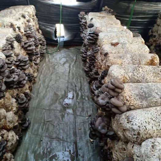 河北省邯郸市成安县 新鲜蘑菇平菇,大量出售,物美价廉 产地直销