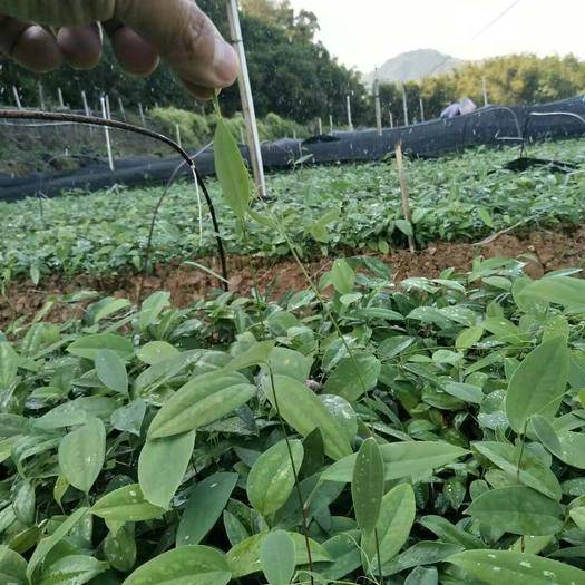 玉林北流市 白肉粉质土茯苓苗越来越旺盛了,很适宜秋、冬种种植季节