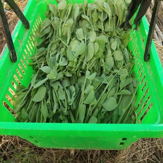 贵州省安顺市关岭布依族苗族自治县豌豆苗 豌豆尖现采现发,带冰发货。