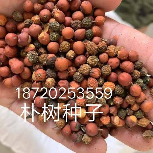 九江柴桑区朴树种子 供应,供应各种各样的种子,小苗大苗