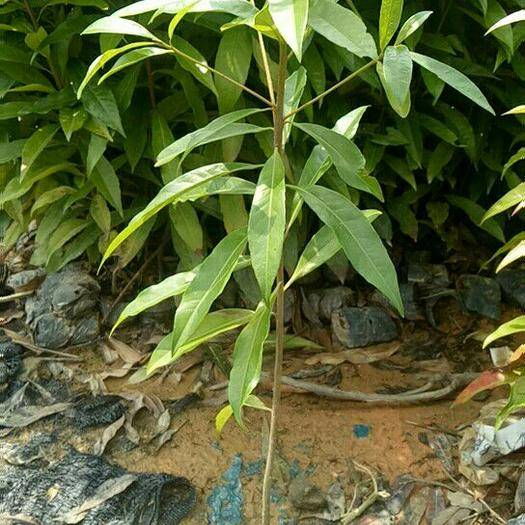 广州木荷袋苗  木荷苗木荷既是一种优良的绿化、用材树种,又是一种较好的耐火、