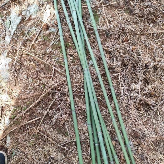 郴州 早笋竹子!又大一根。长有三到四米长。是种菜种水果的好材料