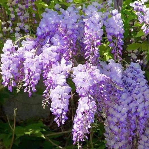 臨沂平邑縣 多花紫藤  開花爆滿 花期長 南北方均可種植