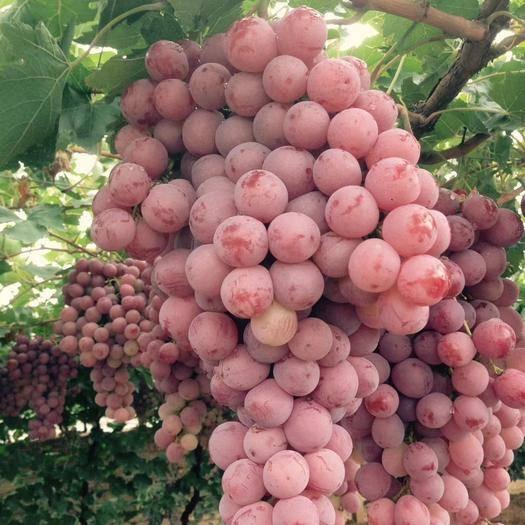 涿鹿县美国红提 精品红提开始大量出库,欢迎各地朋友前来采购。