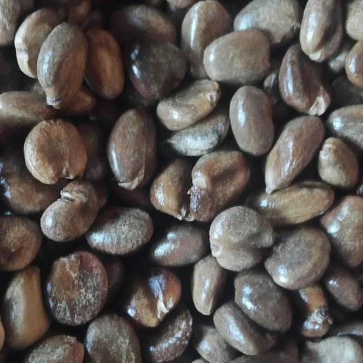 怀化通道侗族自治县黑老虎种子 优质精品布福娜种子,一斤一千二佰颗,少扑多不退,看君的诚意