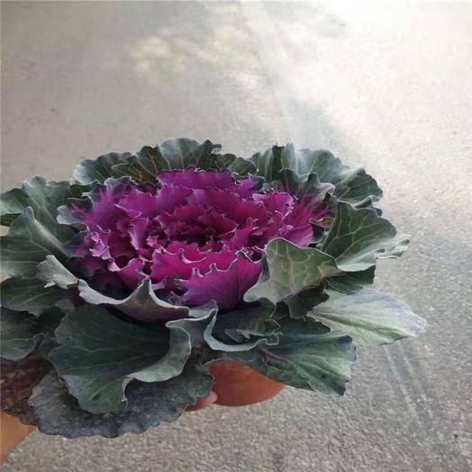 青州市 供應羽衣甘藍 冬季花壇造型羽衣甘藍 彩色植物羽衣甘藍
