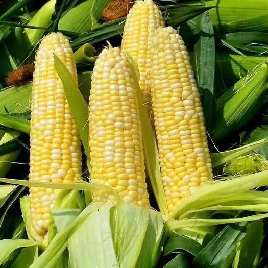 昆明 云南新鲜水果玉米5斤10斤包邮当季孕妇水果玉米
