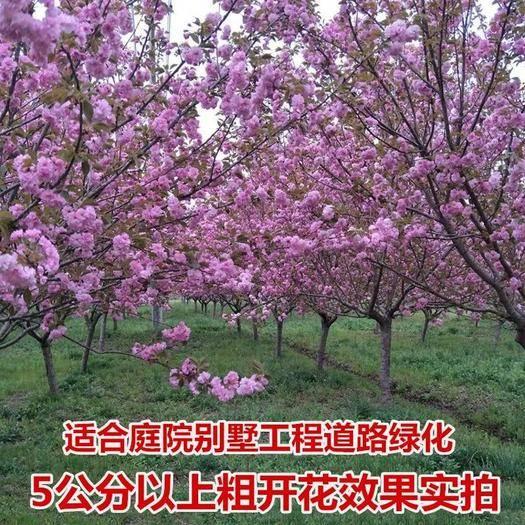 平邑縣 櫻花樹苗  嫁接日本櫻花苗 規格品種齊全 庭院種植 基地直