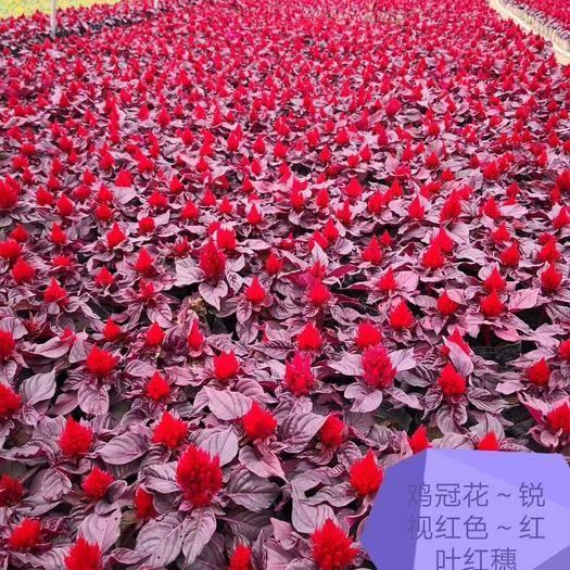广州荔湾区 鸡冠花种子国产各品种各系列草花种子