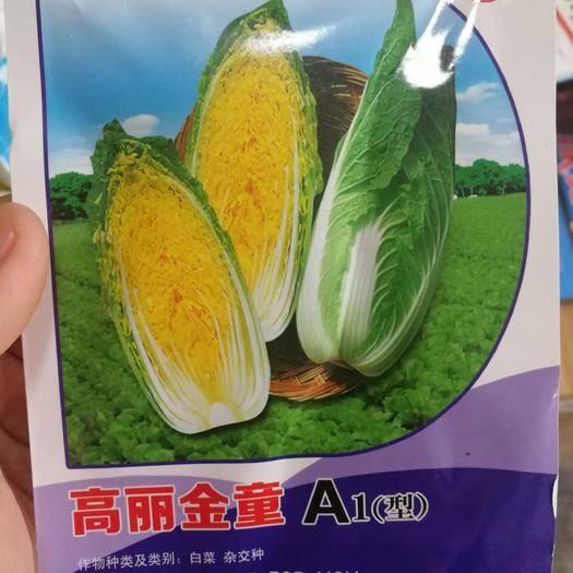 商丘夏邑县 高丽金童娃娃菜种子耐寒耐抽苔早春立冬均可种植