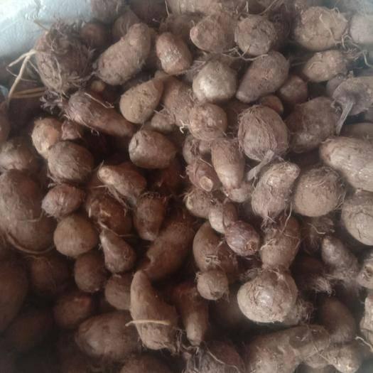 山东省威海市乳山市香芋 3cm以上