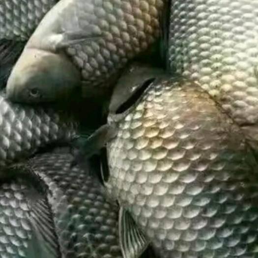 昆明 [批发] 鲫鱼,水库鲫鱼,质量保证