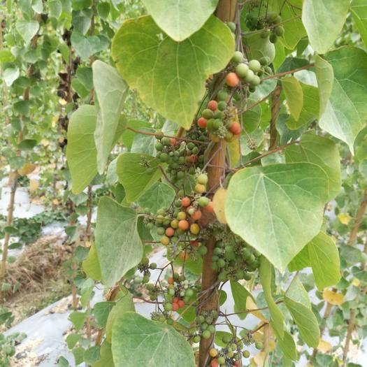吉安新干县 粉防己种子,可教种植技术,保证发芽率。