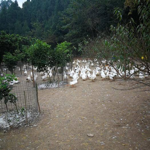 德陽中江縣 養殖場父母代受精種鴨蛋(花邊鴨)60-75天體重可達5-6