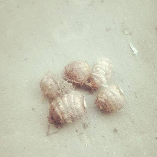 山东省潍坊市安丘市水芋头 大量供用竽头