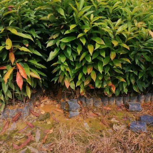 广州 木荷袋苗