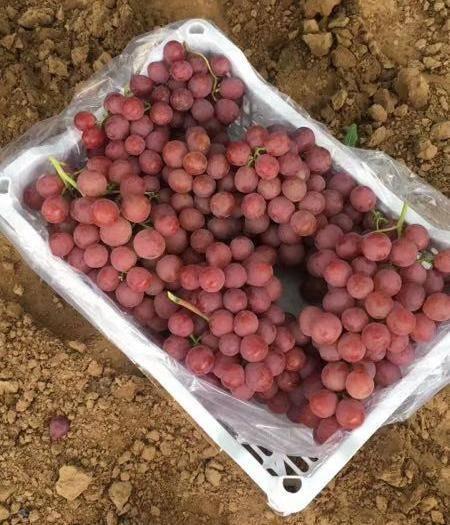 涿鹿县美国红提 0.4-0.6斤 5%以下 1次果
