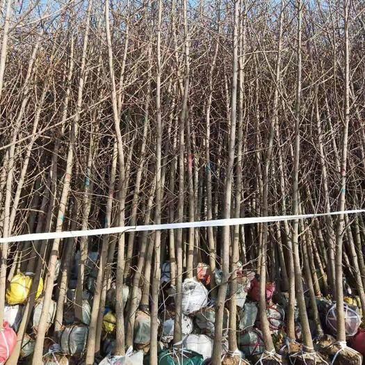 臨沂郯城縣銀杏實生樹 銀杏1-4公分小苗  現定現挖
